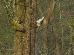 Green Woodpeckers by Harry Appleyard, Howe Park Wood 11 April 2016