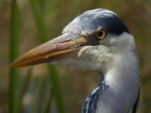 Grey Heron by Harry Appleyard, Howe Park Wood 19 April 2016