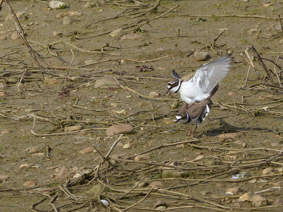 Little Ringed Plovers by Harry Appleyard, Floodplain Forest Nature Reserve, 13 April 2016