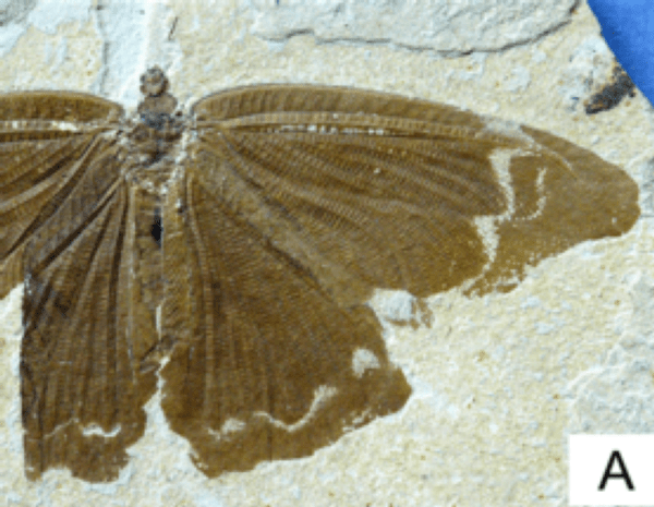 Butterflies in the Time of Dinosaurs, With Nary a Flower in Sight