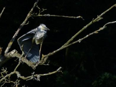 Grey Heron by Harry Appleyard, Tattenhoe Linear Park, 14 July 2016