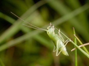Oak Bush-cricket nymph by Paul Lund. Wicken Wood 5 July 2016