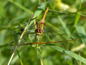 Ruddy Darter, Tattenhoe Park (13th July) Sympetrum sanguineum