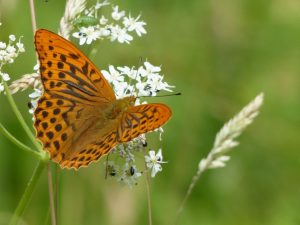 Silver-Washed Fritillary, North Bucks Way (13th July) Argynnis paphia
