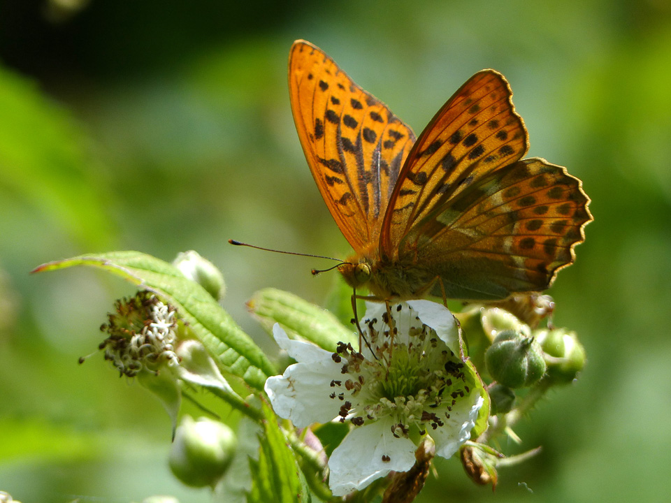 Silver-Washed Fritillary by Harry Appleyard, North Bucks Way, 13 July 2016