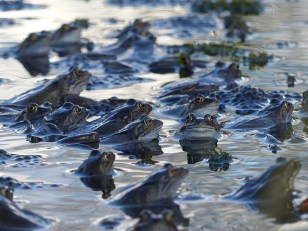 Common Frogs by Harry Appleyard, Howe Park Wood (Short-listed in Countryfile 2016 Competition)