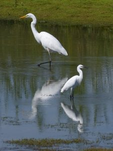 Great White Egret and Little Egret by Harry Appleyard, Floodplain Forest NR 23 August 2016