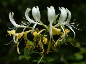 Honeysuckle by Harry Appleyard, Howe Park Wood 31 July 2016