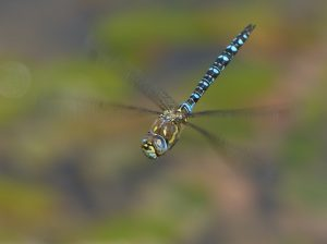 Male Migrant Hawker by Harry Appleyard, Tattenhoe Park 29 August 2016