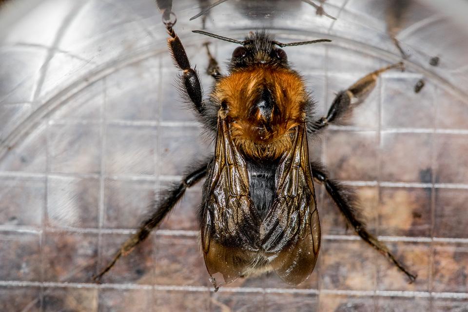 Queen Tree Bumblebee (Bombus hypnorum) by Peter Hassett, Whipsnade Zoo 6 September 2016