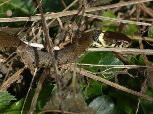 Grass Snake by Harry Appleyard, Tattenhoe 1 September 2016