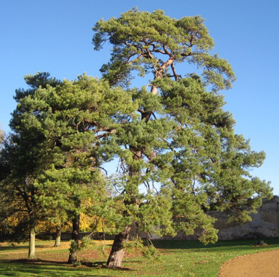 Scots Pine by Alan Birkett, Linford Manor