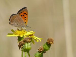 Small Copper, Lycaena phlaeas, Tattenhoe Park (18th Sept 2016) by Harry Appleyard