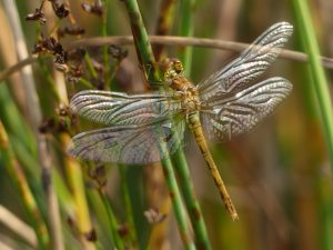 Teneral Common Darter, Sympetrum striolatum, Tattenhoe Park (15th Sept 2016)
