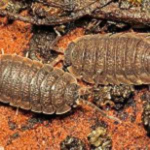 Common Rough Woodlice (Porcellio scaber) by Martin Cooper, Ipswich 29 October 2015