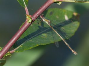 Female Willow Emerald Damselfly Tattenhoe Park Harry Appleyard 1st October 2016