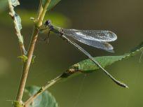 Male Willow Emerald Damselfly Tattenhoe Park Harry Appleyard 2n October