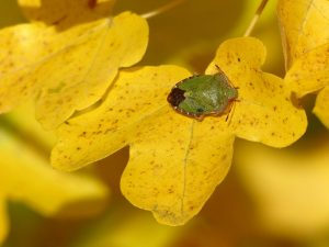 Common Green Shield Bug Palomena prasina by Harry Appleyard Tattenhoe 11th November 2016