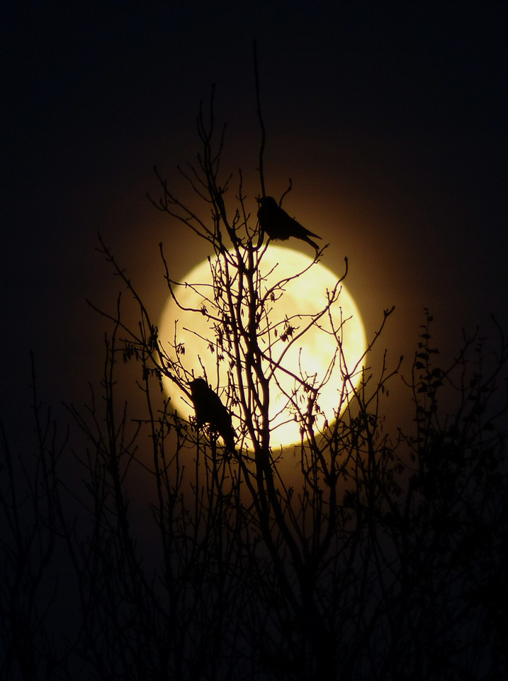 Crows at Moonrise by Harry Appleyard 13 November 2016