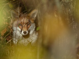 Fox by Harry Appleyard, Howe Park Wood 11 November 2016
