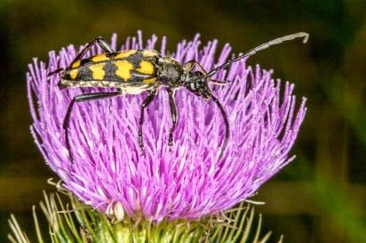 Longhorn beetle (Leptura quadrifasciata) by Peter Hassett Silverdale 18 July 2009