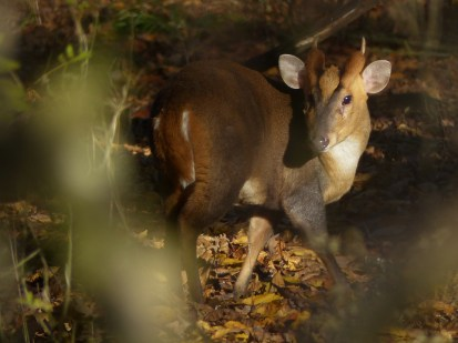 Muntjac Buck by Harry Appleyard, Howe Park Wood 28 November 2016