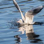 Black-headed Gull by Peter Hassett Caldecotte Lake 29 December 2016