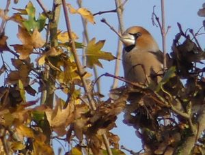 Hawfinch by ©Harry Appleyard, Tattenhoe Linear Park, 30 October 2017