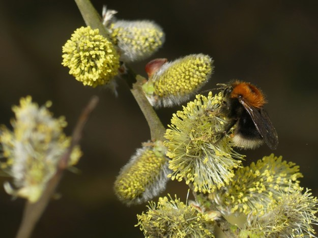 Tree Bumblebee by Harry Appleyard, Tattenhoe 24 February 2017