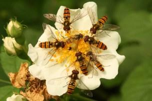 Winner. Hoverflies by Mark Strutton. 3 July 2016