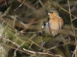 Male Chaffinch by Harry Appleyard, Howe Park Wood 7 February 2017
