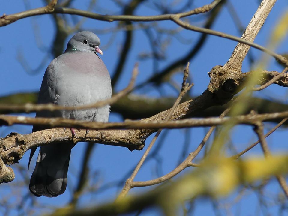 Stock Dove by Harry Appleyard, Howe Park Wood 13 February 2017