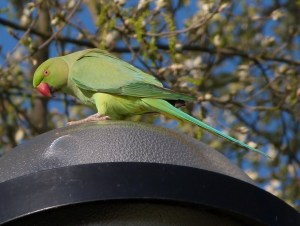 Ring-necked Parakeet by Howe Park Wood