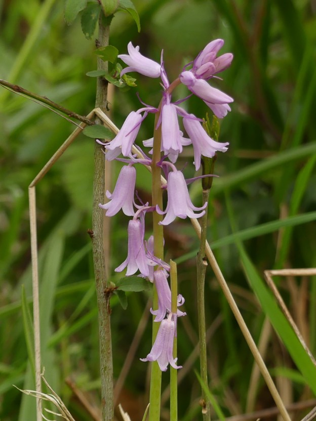 Pink Bluebell by Harry Appleyard, Linford Wood 2 May 2017