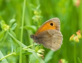 Meadow Brown by Peter Hassett, Shotover Hill 4 June 2017
