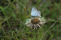 Chalkhill blue on Carline Thistle ©Martin Kincaid, Ivinghoe