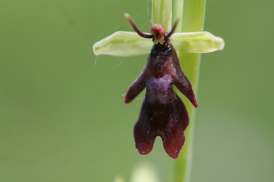 Fly Orchid ©Martin Kincaid, Dancersend