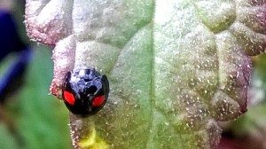 Kidney-spot Ladybird by Martin Kincaid, Buckingham Garden Centre, 23 September 2017