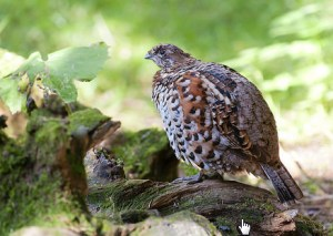 Hazel Grouse by Peter Dunn and Naturetrek Limited