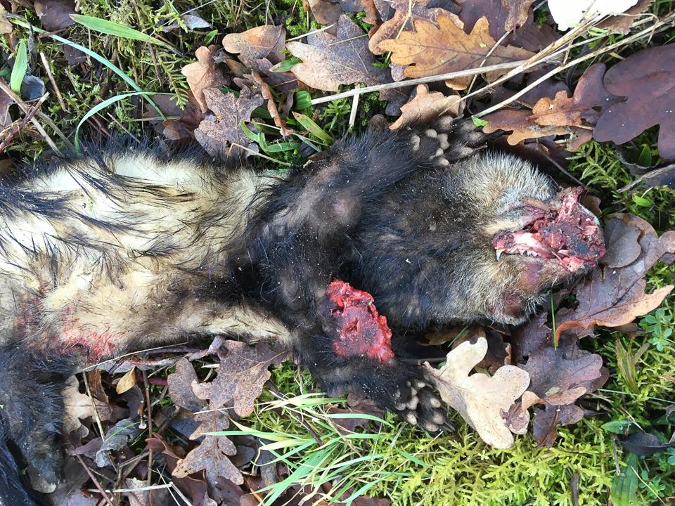 Polecat/ferret ©Steven Cousins, Emberton 15 January 2018