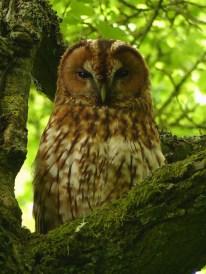 Tawny Owl ©Harry Appleyard, Tattenhoe 23 May 2017