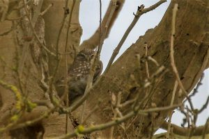 Little Owl ©Julian Lambley, Floodplain Forest NR 4 March 2018.jpg