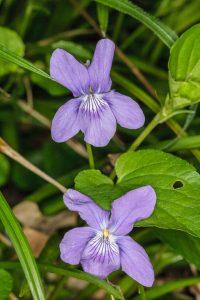 Violet sp.  ©Peter Hassett Stanton Wood, 12 May 2010