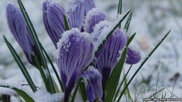 Snow dusted crocuses in February ©Harry Appleyard