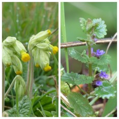Cowslips & Ground Ivy ©Janice Robertson, Linford Lakes NR 9 April 2018