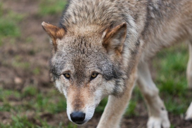 Captive Wolf ©Peter Hassett 13 March 2011