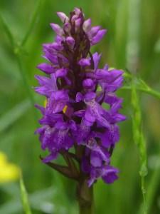 Green-winged Orchid ©Harry Appleyard, Tattenhoe, 30 May 2018