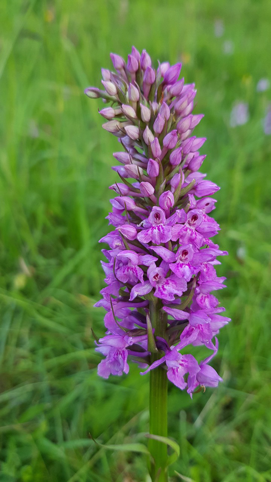 Cross between a Common Spotted and Southern Marsh orchids © Julian Lambley, Clinton Ragpits 12June 2018