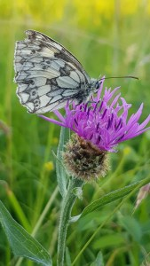 Marbled White on Knapweed ©Julian Lambley, Meadow Farm reserve, 26 June 2018