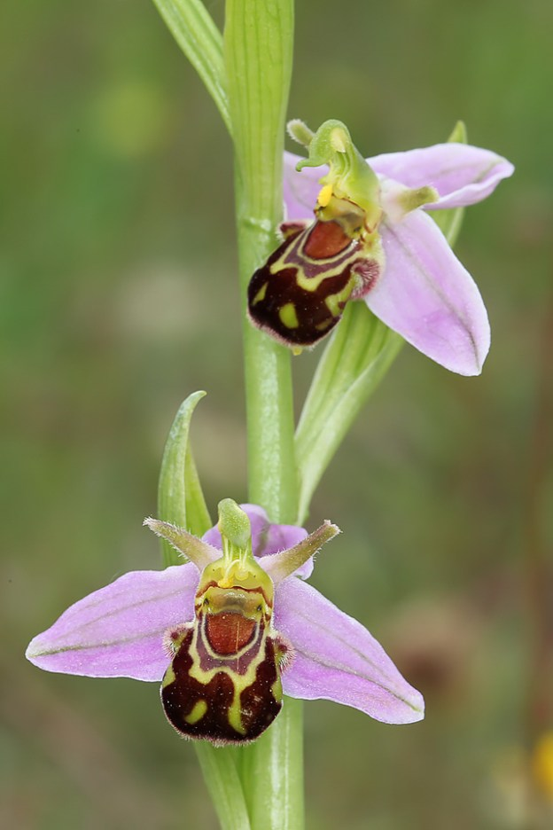 Bee Orchid Stonepit Field
